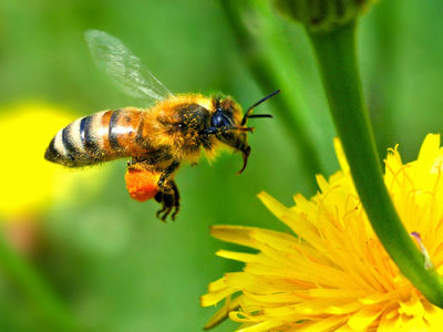 http://sridharsimplysaid.files.wordpress.com/2011/03/honey-bee-pollinating.png?w=611